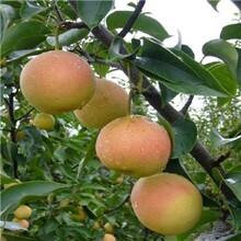 梨苗價格1公分晚秋黃梨圓黃梨樹苗種植方法種植技術價格低結果多圖片