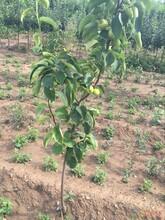 晚秋黄梨苗价格5公分秋月梨树苗哪里有卖的应注意的关键问题图片