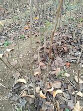 梨苗新品種1公分晚秋黃梨圓黃梨樹苗的藥用價值批發價格是多少圖片