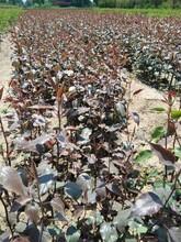 意大利黑梨苗5公分秋月梨樹苗保證成活率新品種介紹圖片