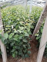 红皮梨苗3公分玉露香梨树苗售后一条龙服务图片