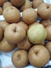 晚秋黄梨苗价格1公分晚秋黄梨圆黄梨树苗目前最好的品种低价出售图片