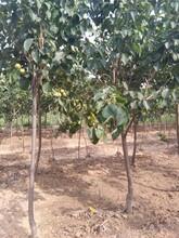 柱状梨苗价格2公分全红梨树苗规格齐全优质量大图片