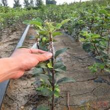 矮化苹果苗价格1年红星苹果苗哪里有卖的图片