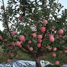 矮化苹果苗2公分鲁丽苹果苗应注意的关键问题图片
