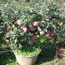 苹果苗新品种基地3公分柱状苹果苗一亩地种多少棵批发价格是多少图片