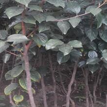 苹果苗批发5公分红富士苹果苗几月份种植成活率高图片