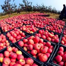 矮化苹果苗3公分柱状苹果苗规格齐全优质量大图片