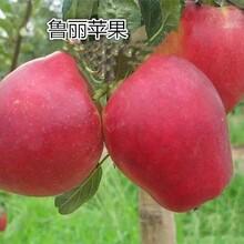 红肉苹果苗价格2公分鲁丽苹果苗哪里有卖的图片