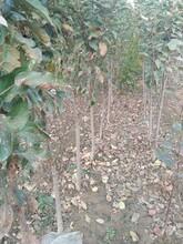 矮化苹果苗1公分寒富苹果苗目前最好的品种应该如何种植图片