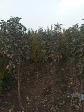 苹果苗新品种公司5公分红富士苹果苗种植方法种植技术新品种介绍图片