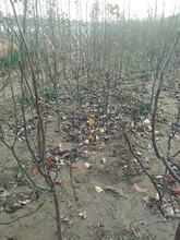 红心苹果苗1年红星苹果苗一亩地种多少棵优质品种千万别错过图片