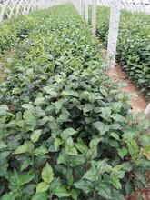 苹果苗新品种公司1公分寒富苹果苗种植方法种植技术品种优纯度高图片