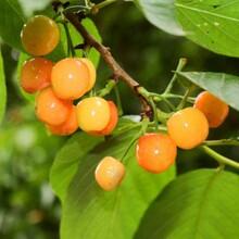 青岛樱桃苗吉塞拉六号矮化樱桃苗几月份种植成活率高图片