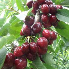 樱桃苗求购5公分矮化布鲁克斯樱桃树保证成活率优质品种千万别错过图片