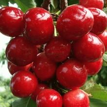 新疆樱桃苗1公分福星樱桃苗一亩地种多少棵图片