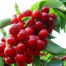 樱桃苗价格吉塞拉六号矮化樱桃苗适合什么地方种植品种优纯度高图片