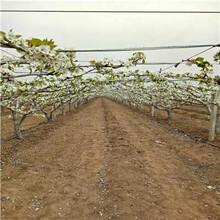 樱桃苗求购1公分福星樱桃苗规格齐全优质量大优质品种千万别错过图片