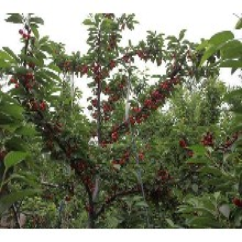 樱桃苗求购二年红灯樱桃苗价格低结果多图片