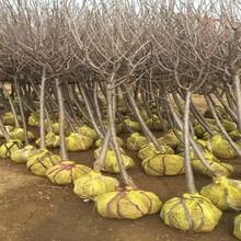 矮化樱桃苗吉塞拉六号矮化樱桃苗适合什么地方种植优质品种千万别错过图片