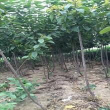樱桃苗木基地5公分矮化布鲁克斯樱桃树目前最好的品种新品种介绍图片