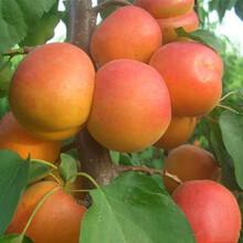 安康杏苗晚熟杏樹苗保證成活率低價出售圖片