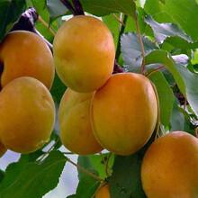 山東杏樹苗3公分杏樹苗適合什么地方種植價格低結果多圖片