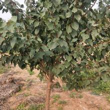 凯特杏树苗大棚杏树苗规格齐全优质量大价格低结果多图片
