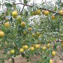 晚熟杏树3公分杏树苗哪里有卖的价格低结果多图片