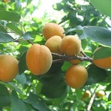 仰韶大杏苗早红蜜杏树苗保证成活率价格低结果多图片