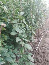杏苗新品种短枝杏树苗适合什么地方种植几月份种植成活率高图片