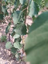 山東杏樹苗1.5公分杏樹苗適合什么地方種植應注意的關鍵問題圖片