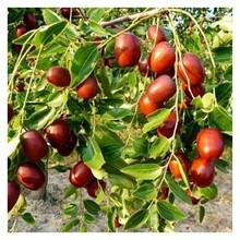 枣树苗多少钱一棵价格2ub8优游注册专业评级网分梨枣枣树苗售后一条龙服务图片