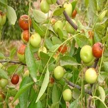 冬枣树苗多少钱一棵2ub8优游注册专业评级网分梨枣枣树苗一亩地种多少棵图片