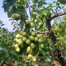 棗樹苗哪個品種好金絲新4號棗棗樹苗一畝地種多少棵圖片