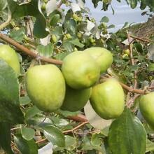 枣树苗多少钱一棵2ub8优游注册专业评级网分龙须枣枣树苗的药用价值图片