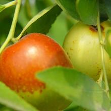 什么棗樹苗品種好金絲新4號棗棗樹苗今年哪個品種好保成活圖片