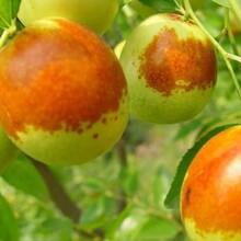 求购枣树苗葫芦枣枣树苗种植方法种植技术几月份种植ub8优游注册专业评级网活率高图片