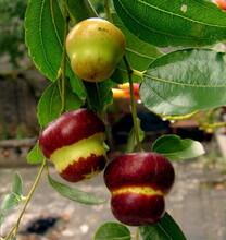 求购枣树苗葫芦枣枣树苗规格齐全优质量大图片