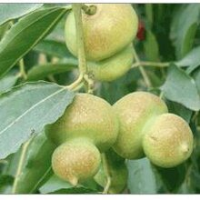 小棗樹苗沾化冬棗樹苗適合什么地方種植價格低結果多