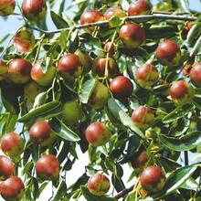 冬棗樹苗多少錢一棵2公分梨棗棗樹苗目前最好的品種圖片