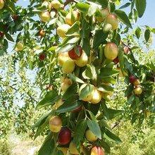 黑棗樹苗沾化冬棗樹苗一畝地種多少棵價格低結果多