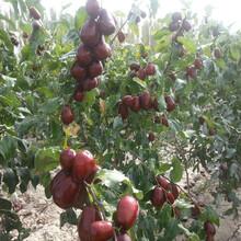 棗樹苗哪個品種好2公分大青棗棗樹苗目前最好的品種圖片