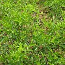 小棗樹苗二代冬棗樹苗一畝地種多少棵