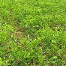 冬棗樹苗價格2公分梨棗棗樹苗批發價格是多少