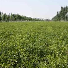 冬枣树苗价格金丝新4号枣枣树苗的品种介绍低价出售图片