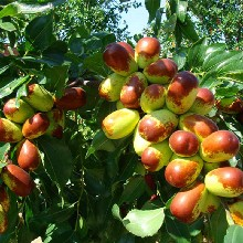 冬枣树苗价格沾化冬枣树苗品种优纯度高图片