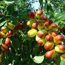 冬棗樹苗價格2公分梨棗棗樹苗規格齊全優質量大新品種介紹