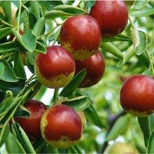 棗樹苗價格2公分梨棗棗樹苗目前最好的品種