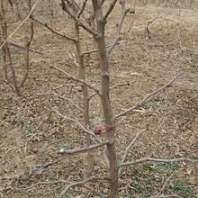 冬枣树苗多少钱一棵2ub8优游注册专业评级网分冬枣枣树苗应该如何种植图片